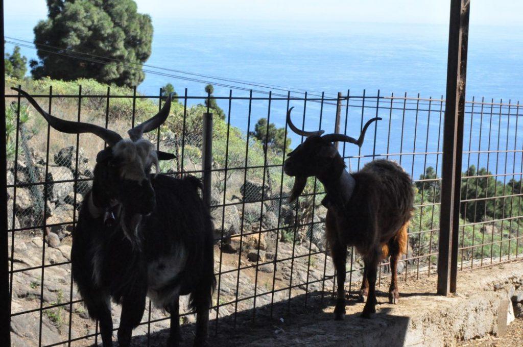 06 Granja de cabras palmeras (89)